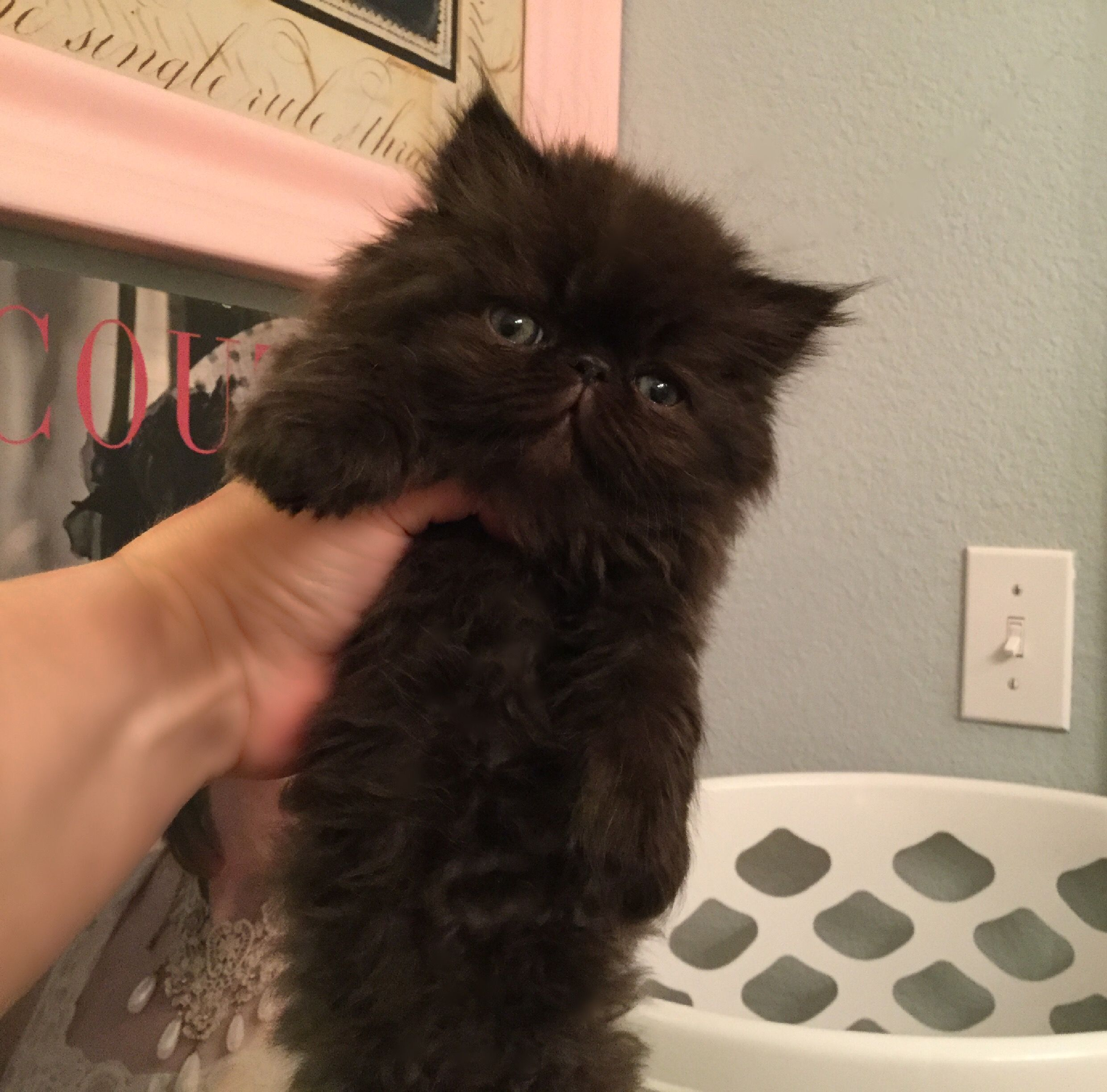 Sold Kittenberry Castle Cat Dolls Persian Kittens Cat Doll Cat Breeder