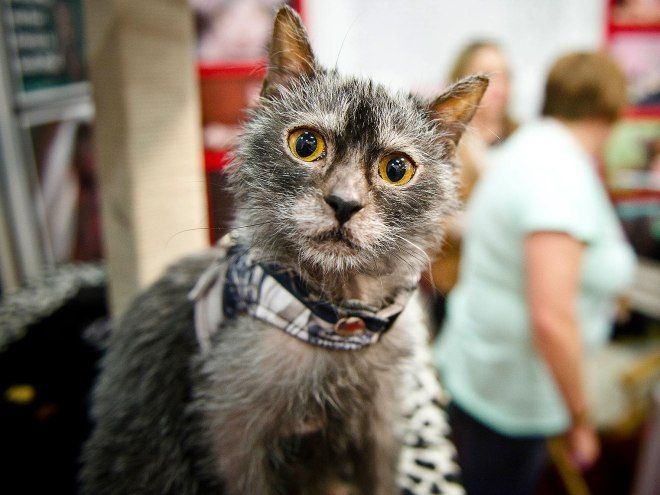 Werewolf Cats Drawing Crowds at London Cat Show Werewolf
