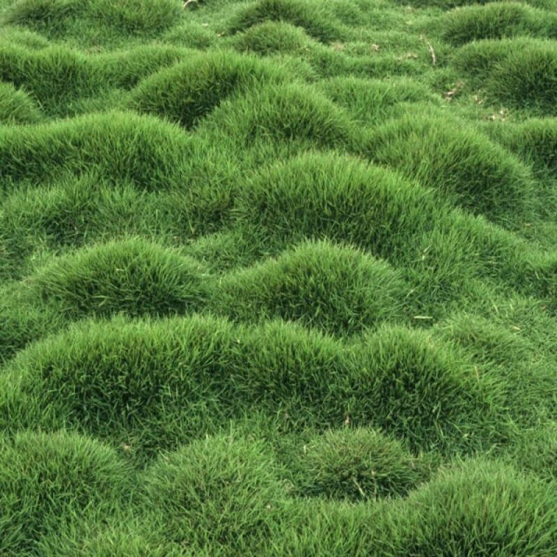 Zoysia grass zoysia tenuifolia pinteres for Grass bushes landscaping