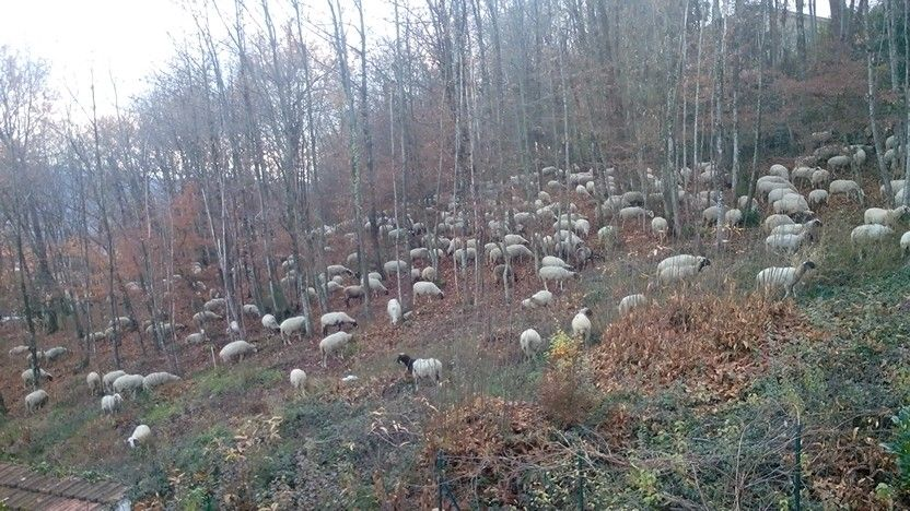 Pecore dietro casa mia #irpinia #Avellino #italy #pecore #sheep