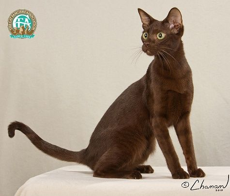 Different Breeds Of Cat Flashcards Flashcards By Proprofs Cat Breeds Havana Brown Cat Cats
