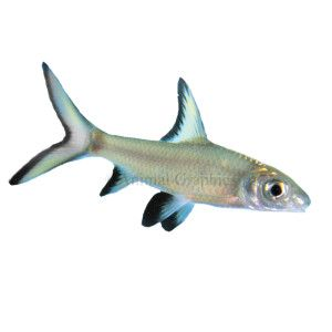 Bala shark from a reviewer these are schooling for Small pet fish