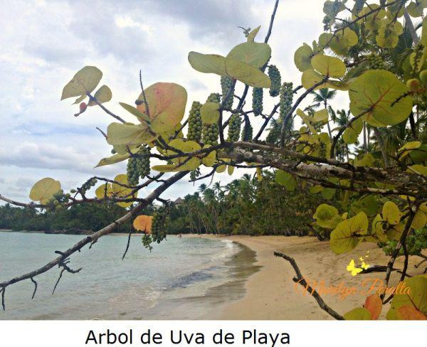 El árbol de Uva de Playa, se llena de frutos en racimos que parecen uvas viníferas. Su nombre científico es Coccoloba uvifera y da flores y frutos en playas, parques, avenidas.