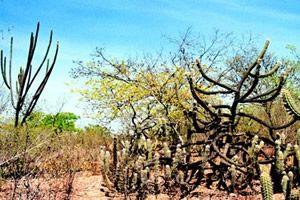 Paisagens Vegetais Do Brasil Clima Da Caatinga Caatinga E Bioma