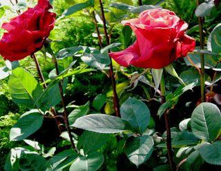 The 4-Step Rose Food Program