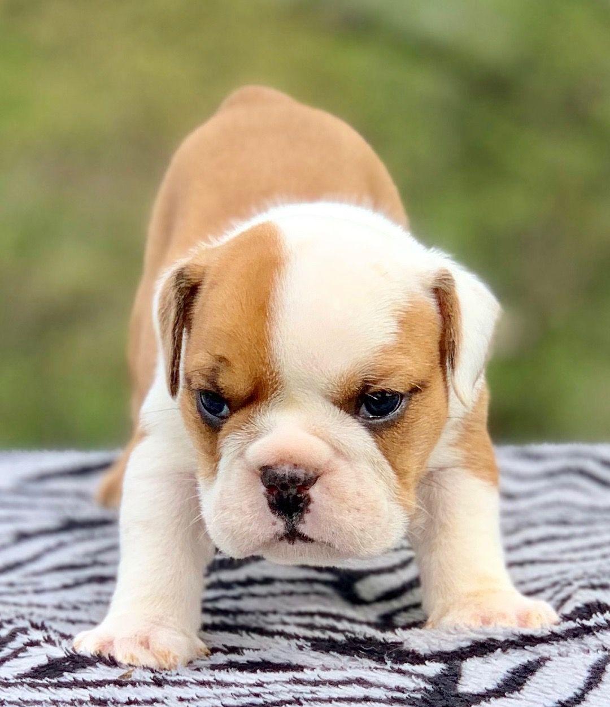 Shadrack Fawn English Male 2700 Bulldog Bulldog Puppies English Bulldog Puppies