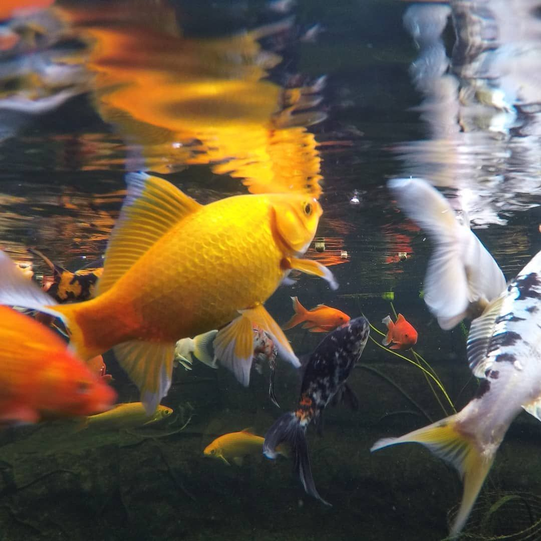 Those Fins Canary Goldfish Looking Good Algae Pond Railwaysleepers Sleepers Raisedpond Small Garden Fish Ponds Pond Design Pond Construction