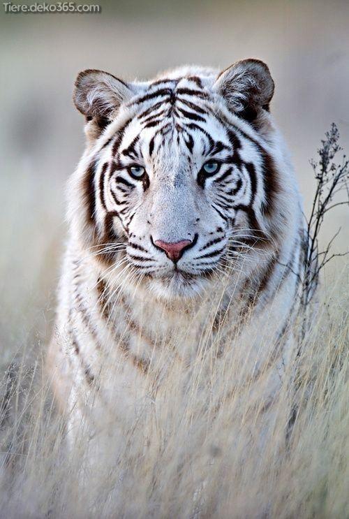 Best white tiger photographer - tiere.d ... -  Spectacular Sublime Best White Tiger Photographic .You can be inspired by many designs.  - #photographer #tiered #Tiger #White #wildanimals #wildanimalslist