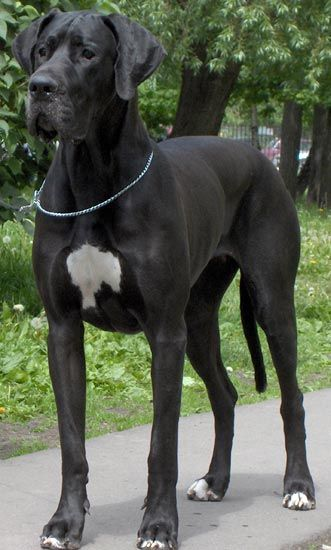 Great Dane Dog Breed Information Dane Puppies Great Dane Puppy