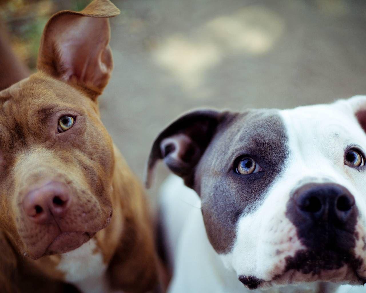 Cute Dog American Pit Bull Terrier Wallpaper HD : All Dog