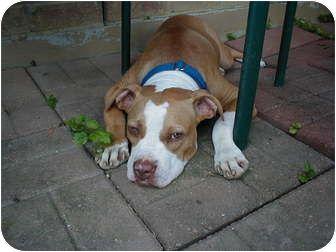 Shorty Cincinnati Ohio Pitbull Rescue Pitbulls American Pitbull Terrier Pitbull Rescue