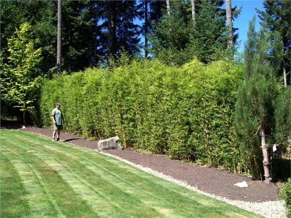 Fargesia robusta 'Campbell' Bambushecke, Bambus und
