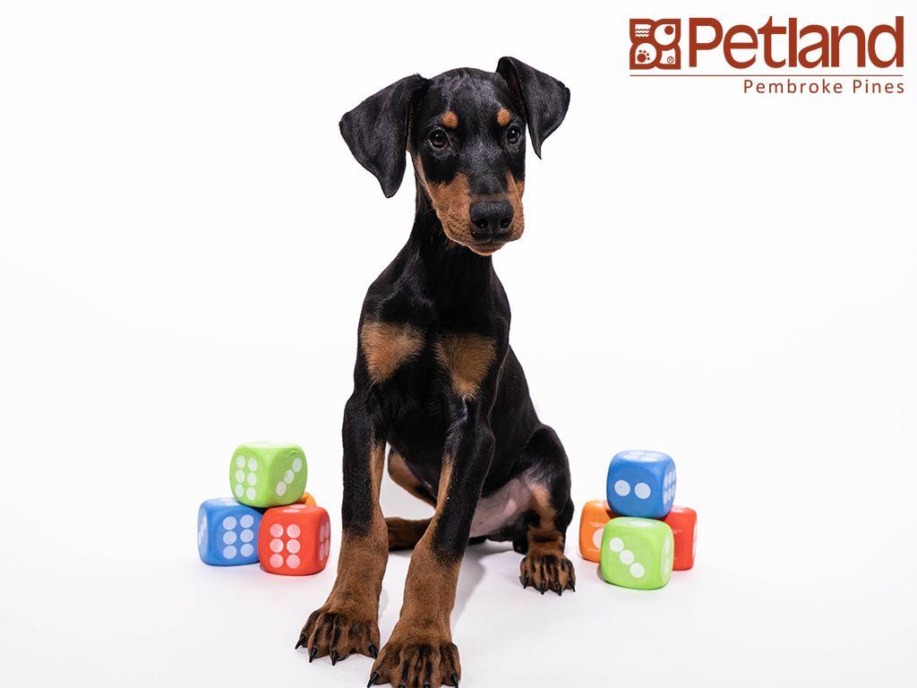 Petland Florida has Doberman Pinscher puppies for sale