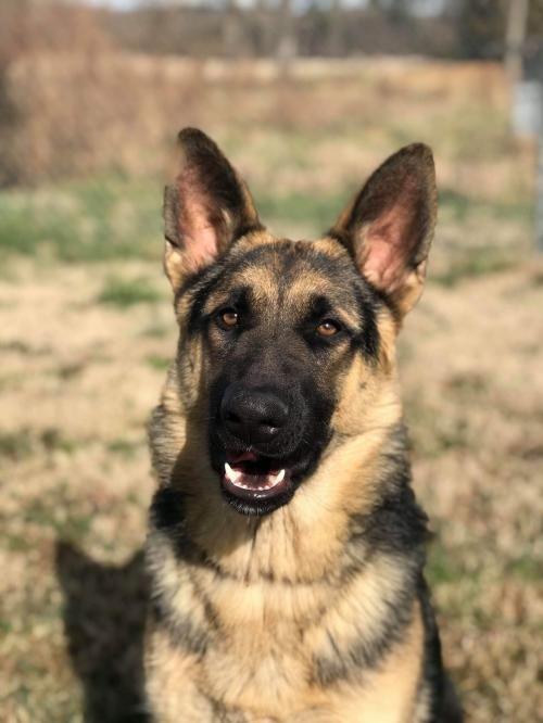 Rupert 1 Dogs, German shepherd dogs, Shepherd dog