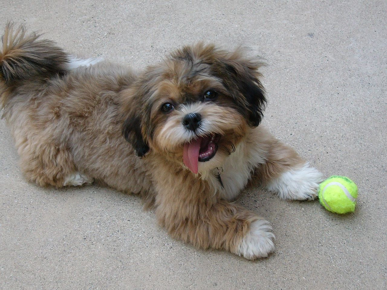 These Are The 20 Dog Breeds That Have The Longest Lifespans Shih Poo Shih Tzu Poodle Shih Poo Puppies
