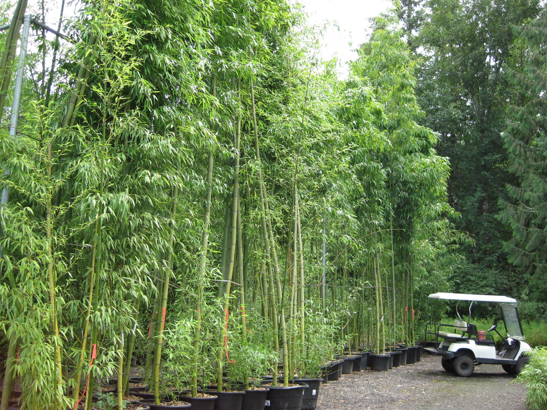 Phyllostachys Vivax Chinese Timber Bamboo Grows To A