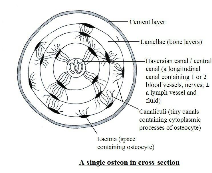 osteon diagram lab
