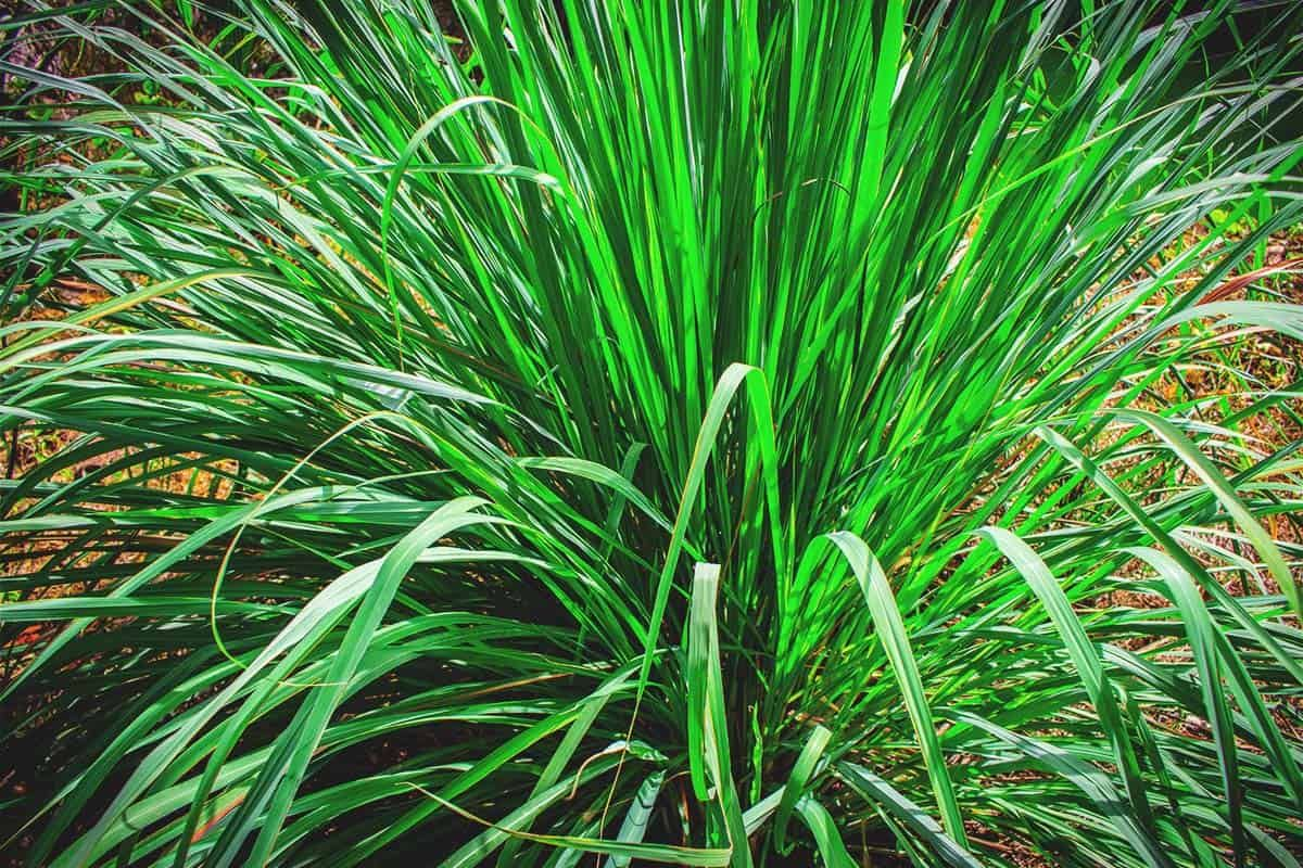 Growing Lemongrass Best Varieties Planting Guide Care Problems And Harvest In 2020 Ground Cover Plants Lemongrass Plant Grow Lemongrass