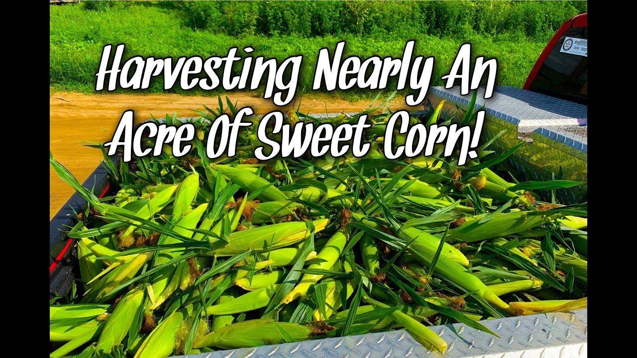 Harvesting nearly an acre of sweet corn sweet corn