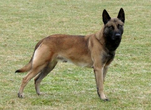 5 Year Old Child Recovering From Injuries After Attacked By Friends Dogs Malinois Dog Belgian Malinois Malinois