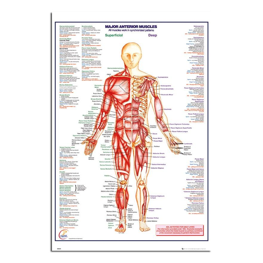 Human Body Major Anterior Muscles Poster | iPosters | Educational ...