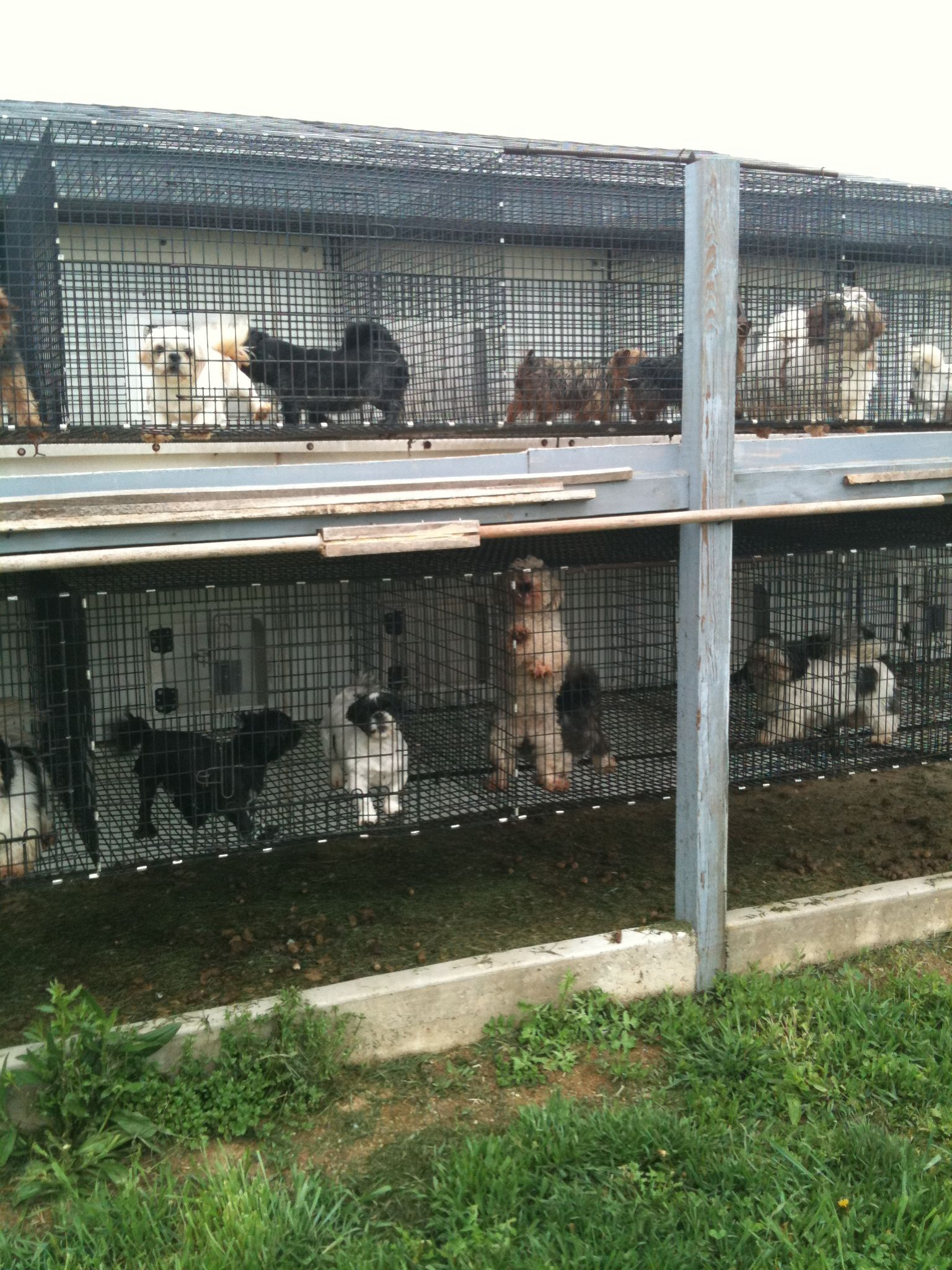 Indiana Amish puppy mill. pets care puppy dogs