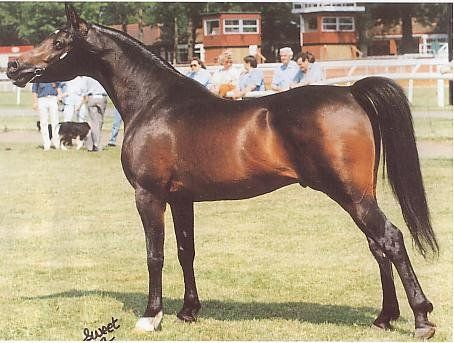 Martenique (US) 1991 Straight Egyptian Arabian dark bay stallion. Ibn El Mareekh {El Mareekh x Bint Deenaa by Ansata Ibn Halima} Aseel x Tabahtha {Ibn Fa-Serr x Tamie by Ansata Abbas Pasha} Bred by Lester and Lois St. Clair, St. Clair Arabians, Knoxville, TN, USA. Exp. to UK by Mr. & Mrs. E.H. and Mr. I. Woodward, High Tor Arabian Stud, Blackpool, UK. Owned by Mrs Nancy Brook, Lancs, UK.