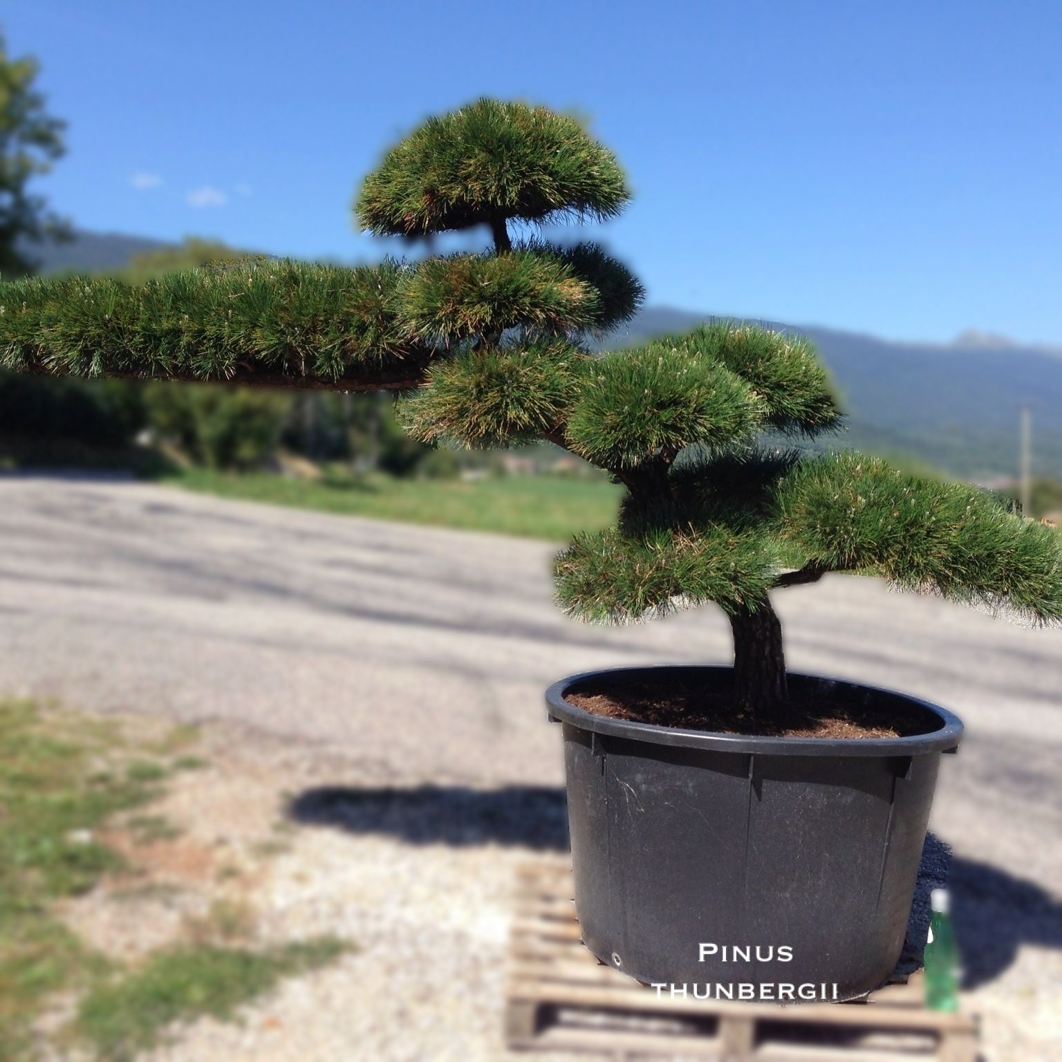 niwaki arbre taill en nuages bonsai niwaki pinterest bonsai and gardens. Black Bedroom Furniture Sets. Home Design Ideas