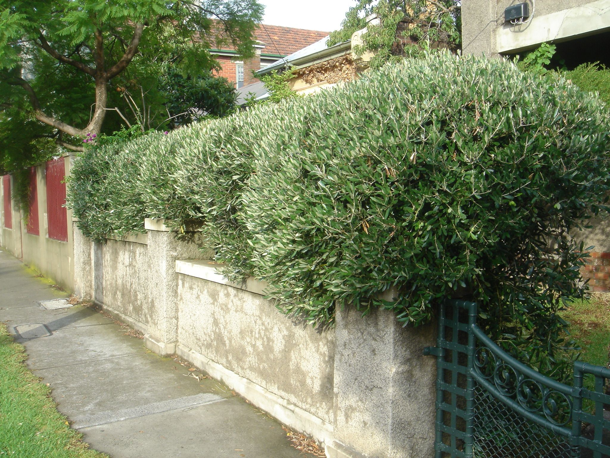 Olive trees as a feature hedge | Bedroom | Pinterest | Gardens and ...