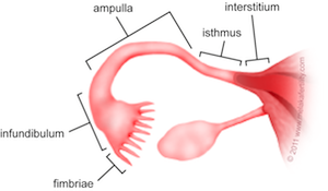 This Image Shows The Different Parts Of The Uterine Fallopian Tube The Fimbriae Are The Finger Like Exte Fallopian Tubes Ovaries Female Reproductive Anatomy