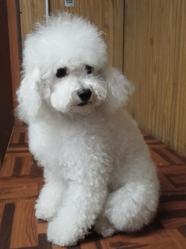 Caniche Blanco Dog Personality Pet Dogs Cute Animals