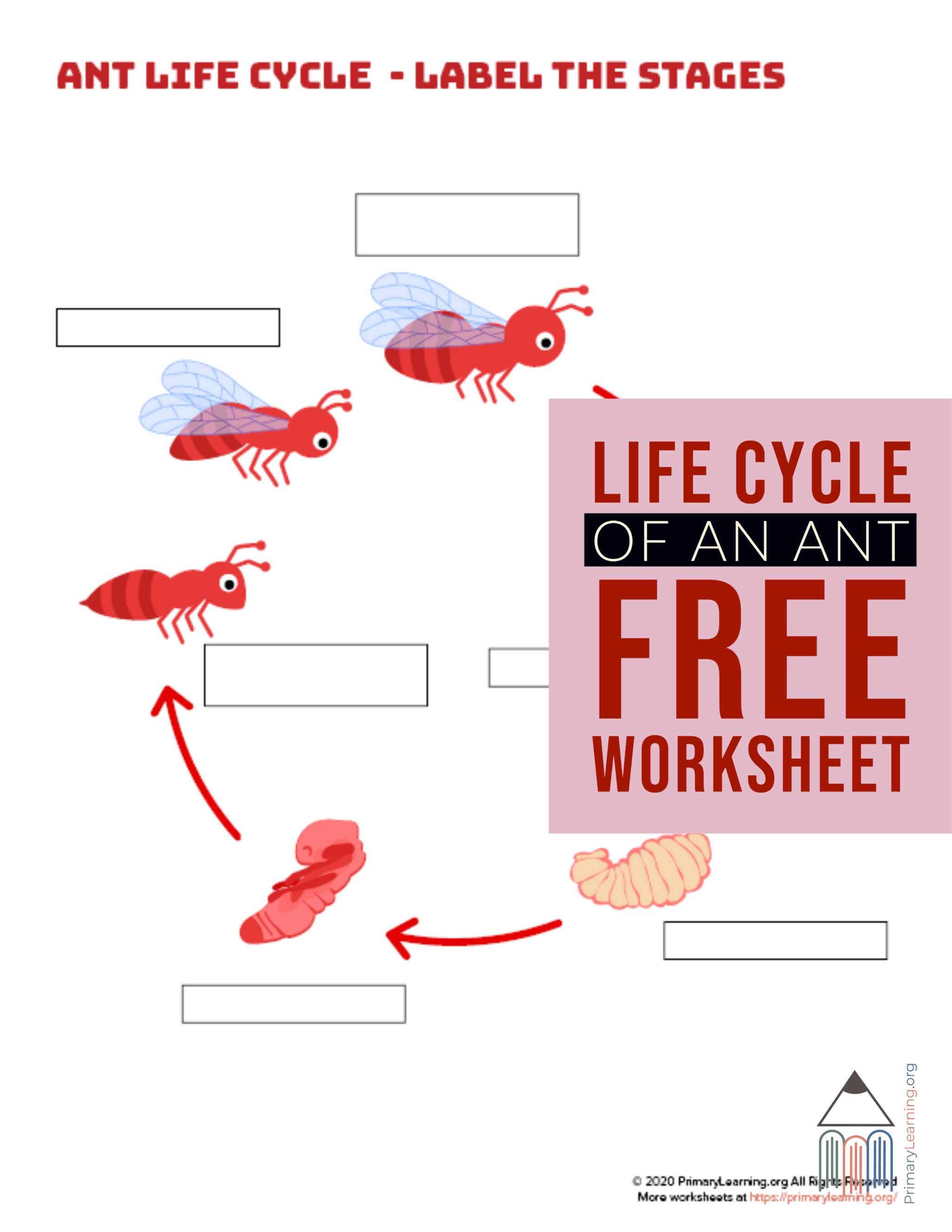 Students Use This Worksheet To Label The Stage Of Ant Life