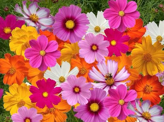 October S Flower The Cosmos Cosmos Flowers Flower Seeds Beautiful Flowers