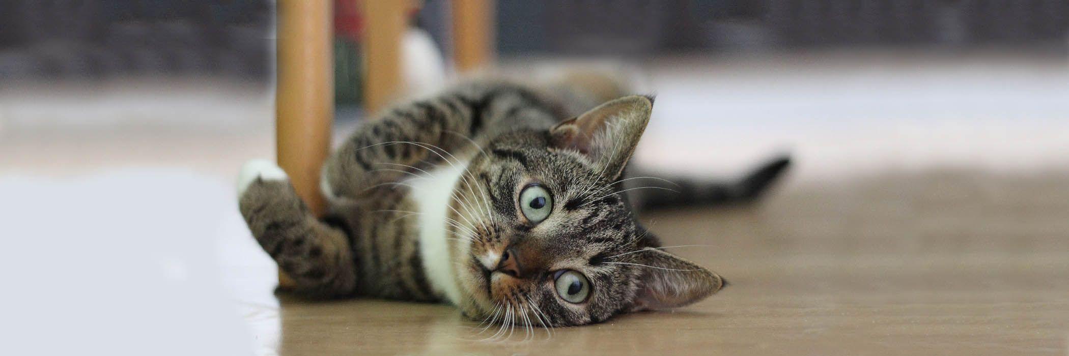 Why Adopt Kitten Rescue Kitten Adoption Cat Adoption