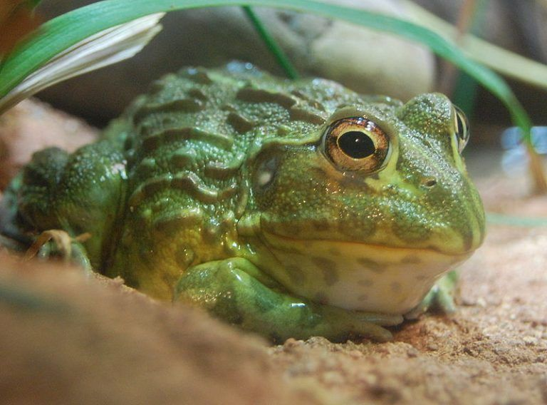 African Bullfrog Frog African Bullfrog Toad