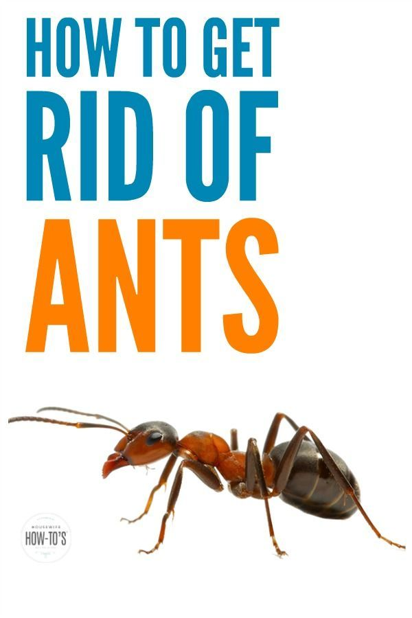 How To Get Rid Of Ants Naturally Get Rid Of Ants Rid Of Ants Ants