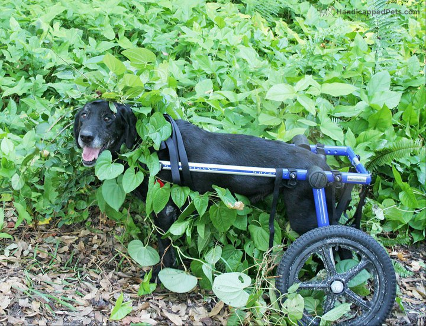 Throwbackthursday To 2010 To The Time Where Cliffie Hid In This Bush In His Walkin Wheels And Thought No One Could See Him Dog Wheelchair Pets Four Legged