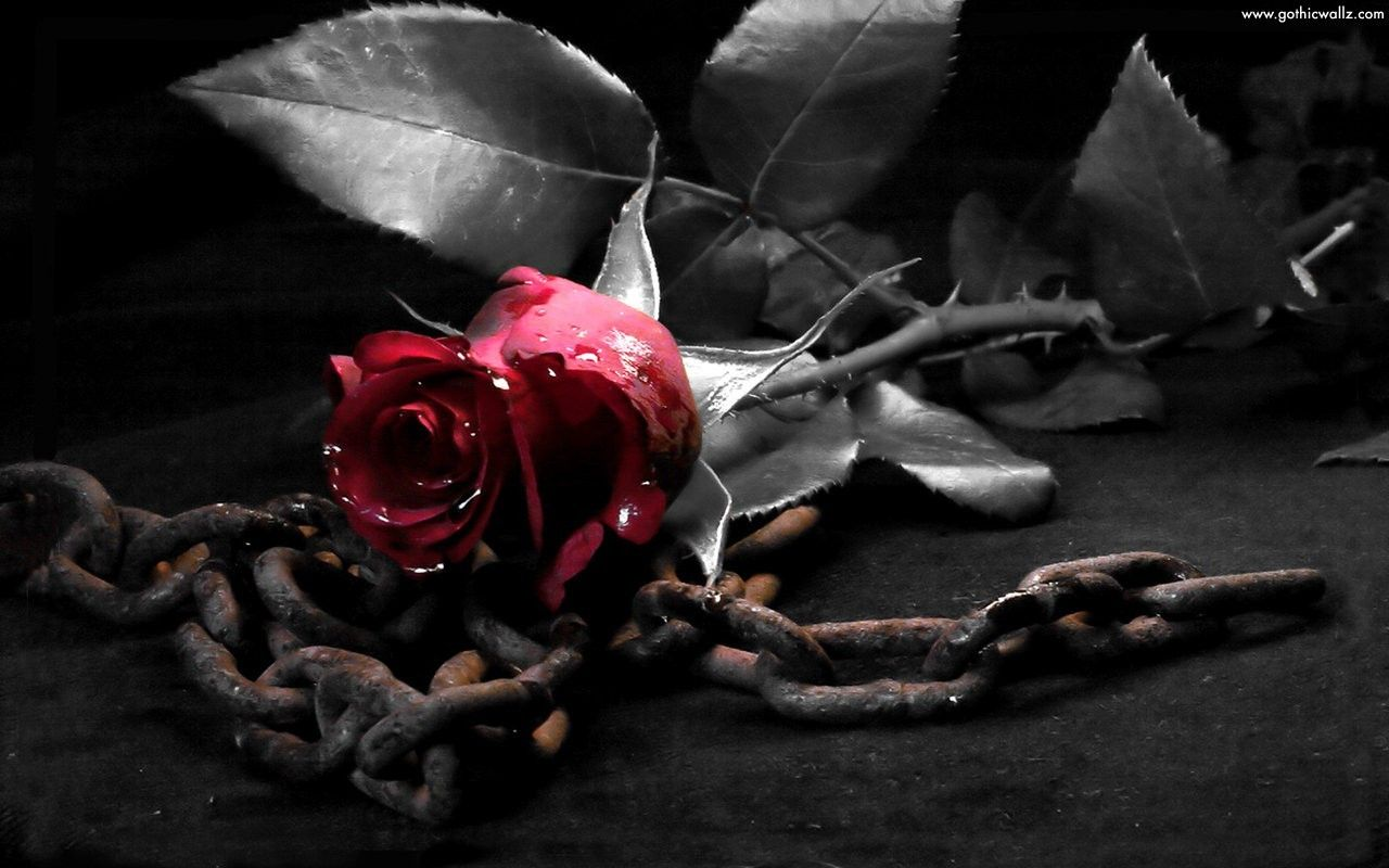 Pink Rose Flowers Picture Wallpaper Pocketyguys
