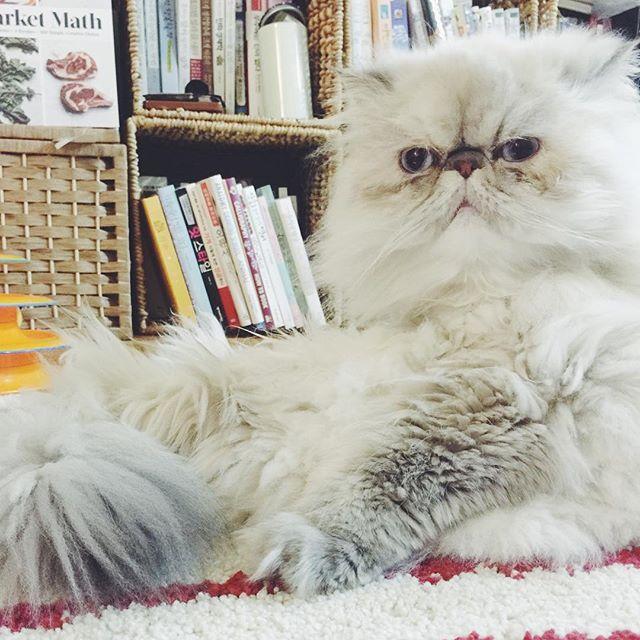 What do you want?!? #고양이라서다행이야 #고양이스타그램 #냥이 #고양이 #히말라얀 #브리티쉬숏헤어 #ilovemycat #catlover #catstagram #catsofinstagram #cat #cats #instacat #catoftheday #lovecats #ilovemycat #cat #persian #petstagram #petsofinstagram #pet #pets #instapet #petsagram #petlovers #pets_of_instagram #petlover #catsnpets #냥스타그램 #캣스타그램 #인스타캣