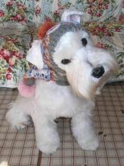 A darling white mini Schnauzer wearing a cute little scarf✨✨