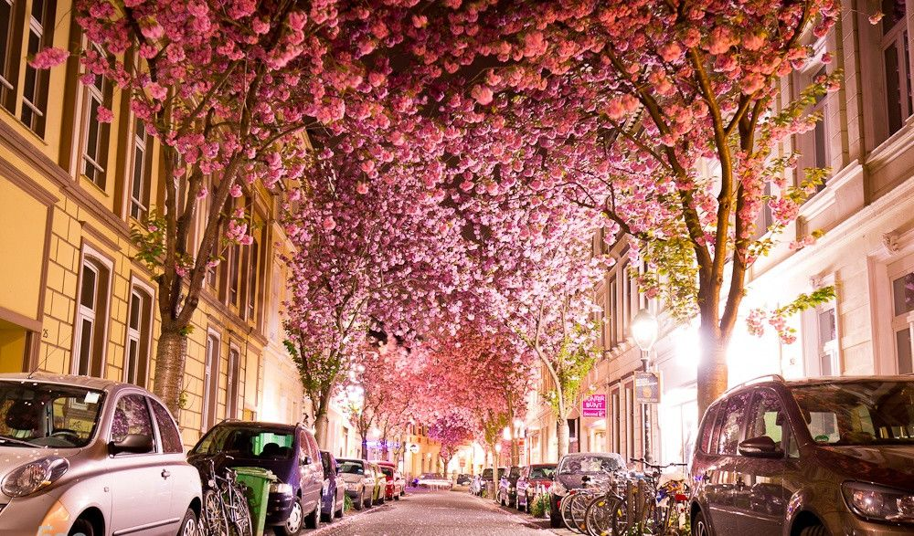 Cherry Blossom Tunnel Germany Bonn Germany Places To Visit Scenery
