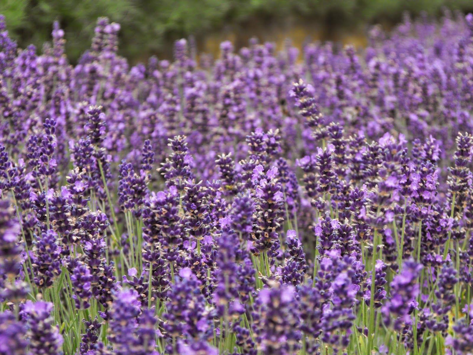 [something creative here]: Lovely Lavender