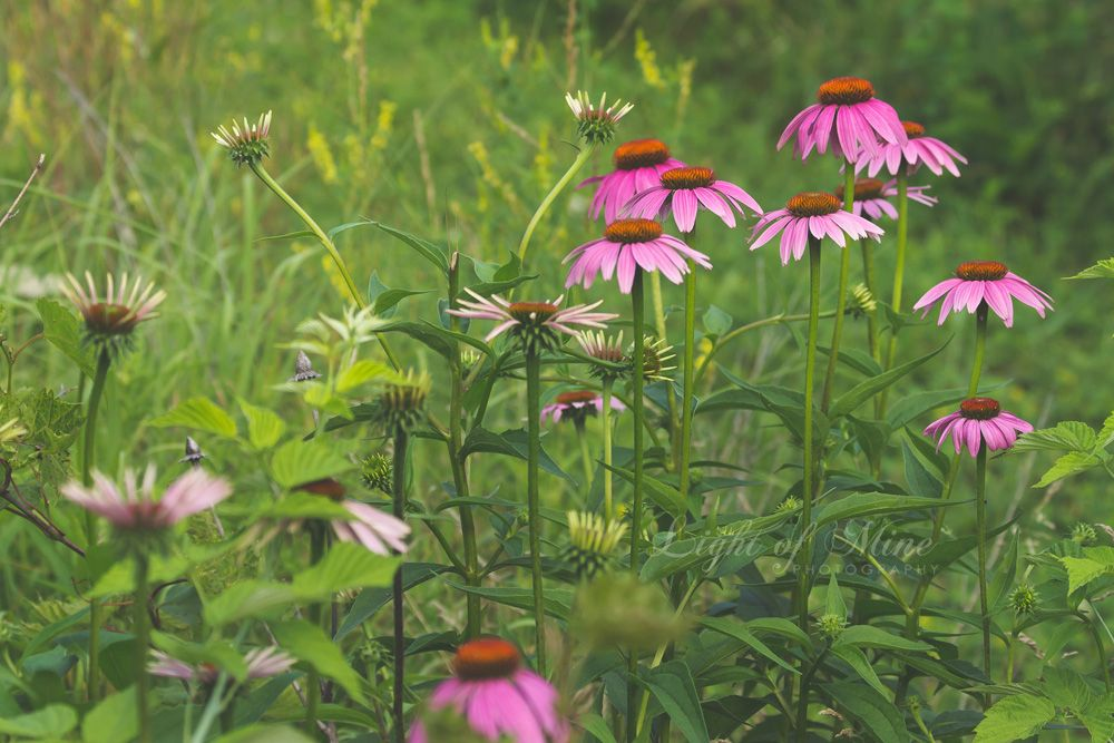 Purple Cone Flower, Echinacea Fine Art Nature Photography, Nature Pictures for sale http://lightofminenature.weebly.com