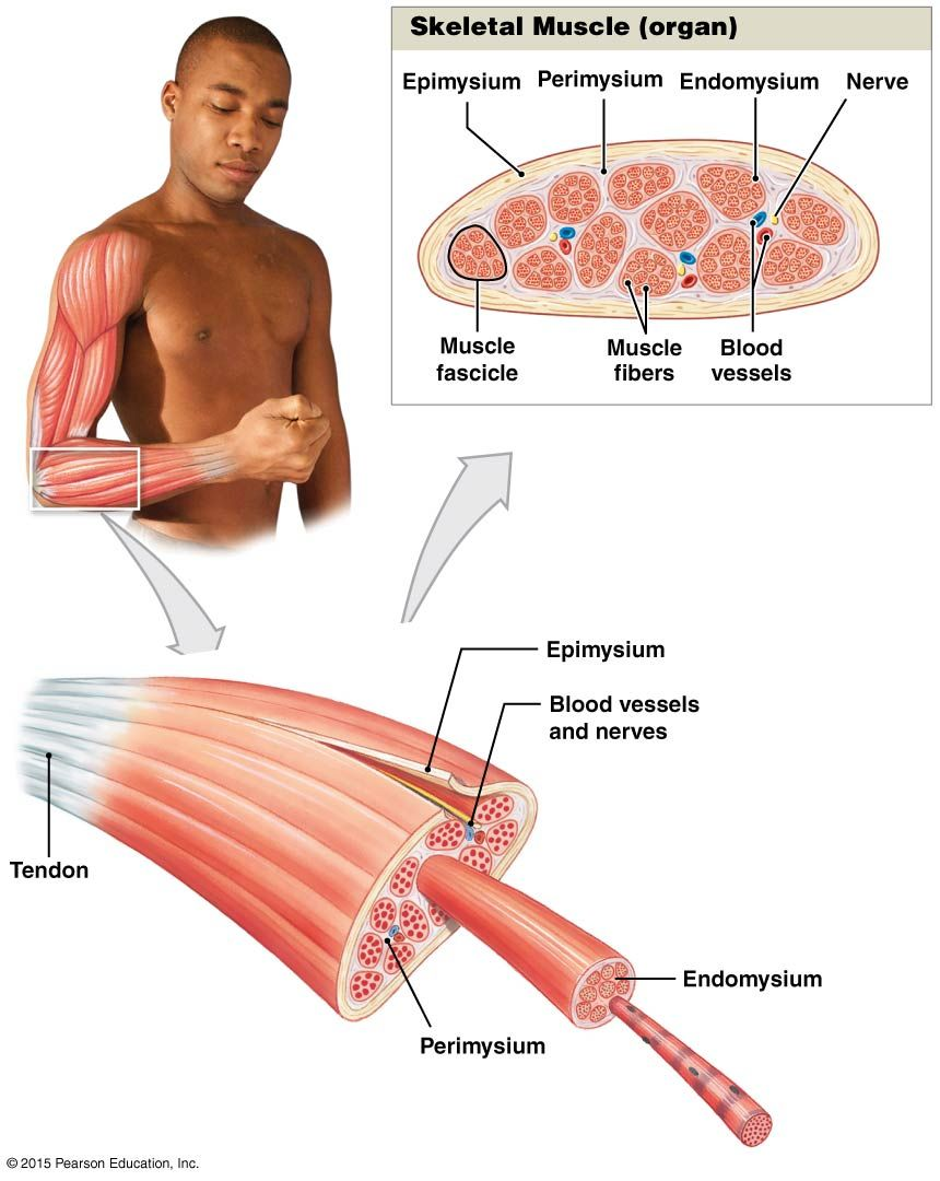 The Organization Of Skeletal Muscles Anatomy And Physiology