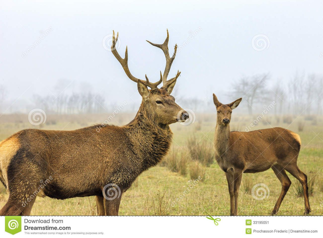 Photo About Red Deer Stag And Doe In Forest Landscape Of Foggy Misty 33195051