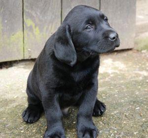 Ridgeway Labradors Uk Labrador Retriever Labrador Dogs Puppies