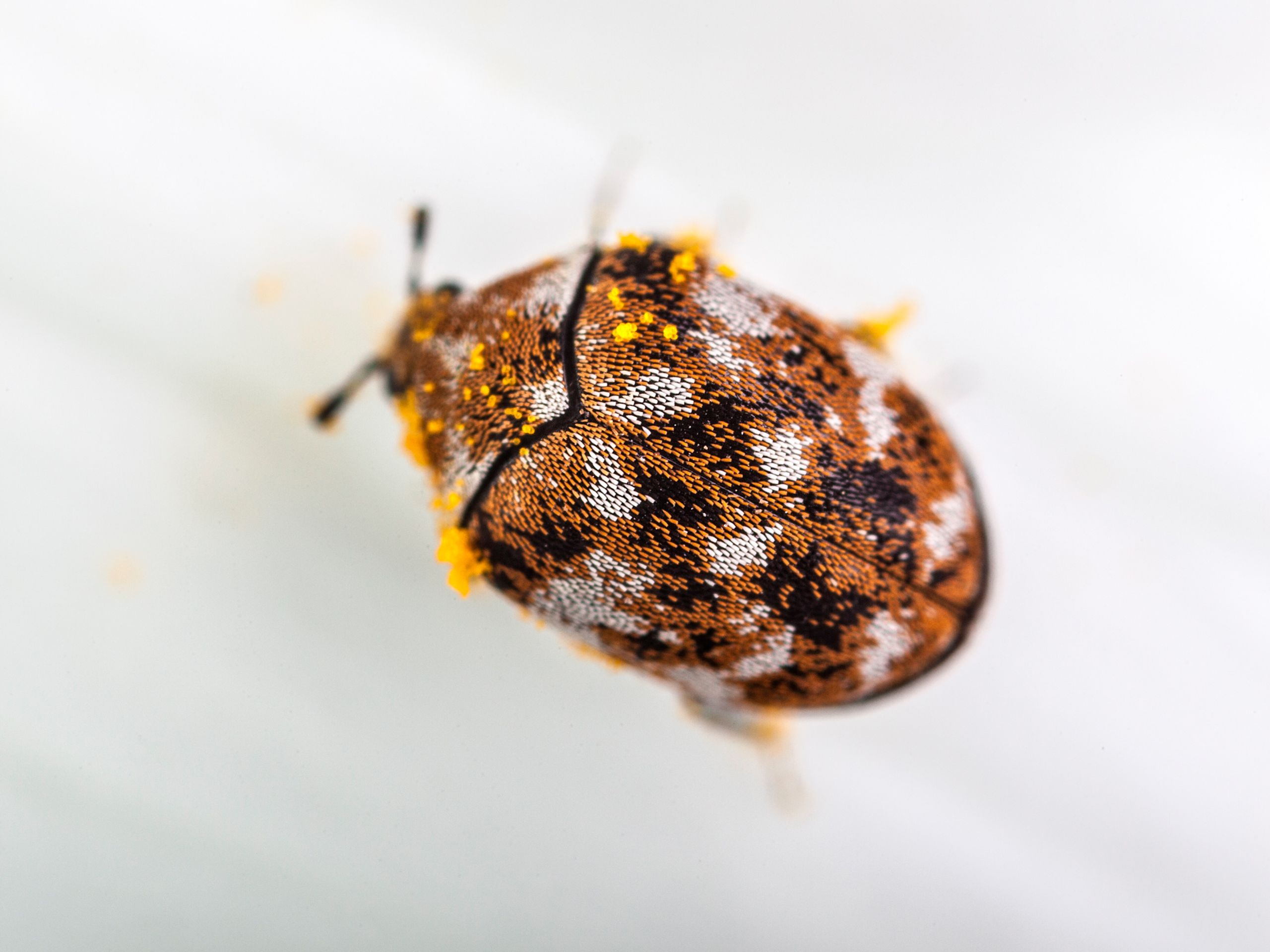 Carpet Beetles (With images) | Black carpet, Beetle, Carpet