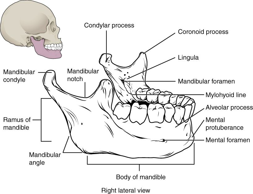 The Skull - Anatomy & Physiology - OpenStax CNX | Skeletal and Axial ...