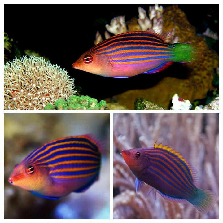 The Six Line Wrasse Saltwater Fish Tanks Salt Water Fish Aquarium Fish