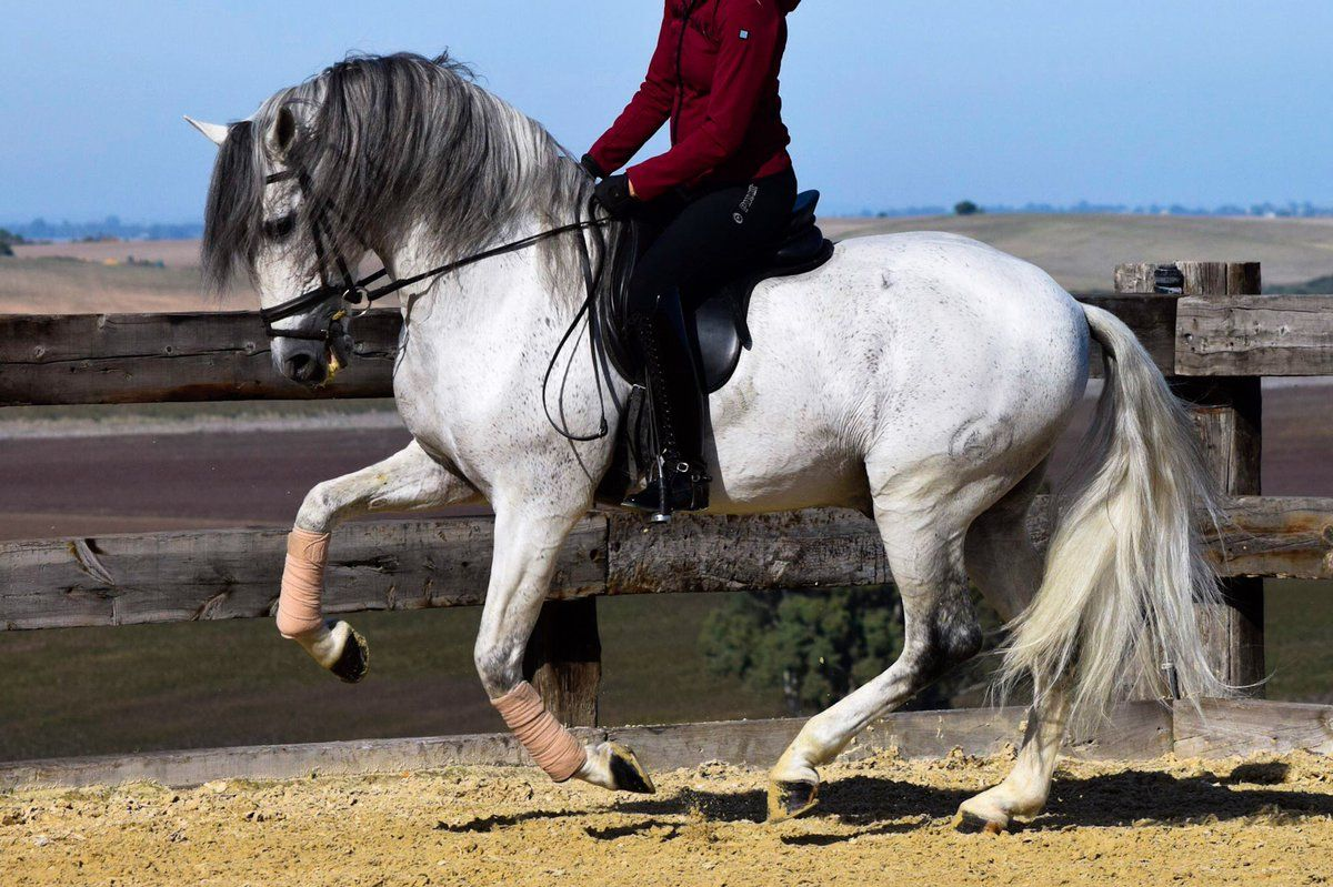Grey PRE Andalusian dressage horse, Golfo | Beautiful Horses